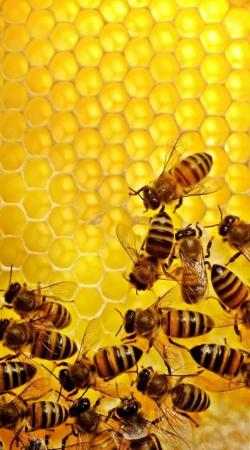 Bee in honey hive