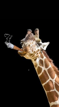 Girafe smoking cigare
